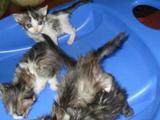 Котята 1месяц
